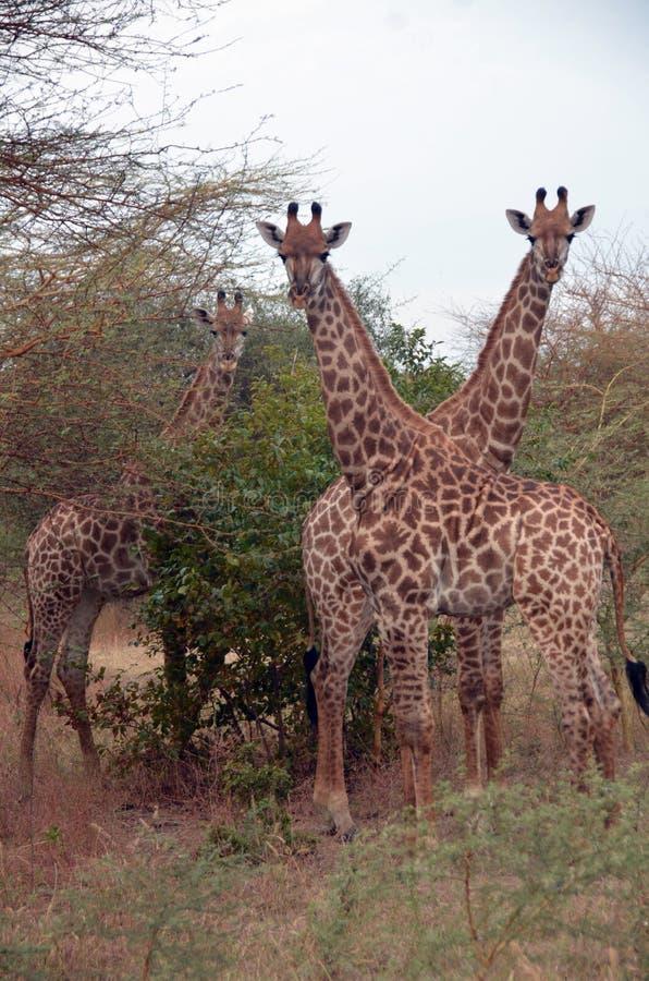 Giraffen in Afrikaanse safari, Senegal stock foto's