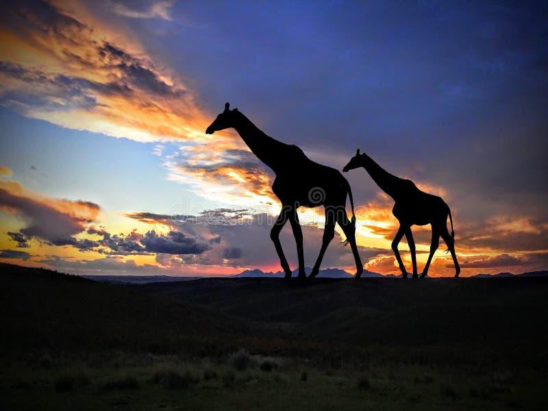Giraffen bij Zonsondergang in Afrika royalty-vrije stock foto