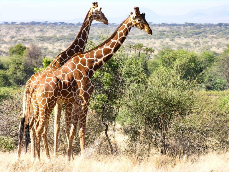 Giraffen, de Nationale Reserve van Samburu, Kenia stock fotografie