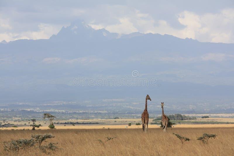 Giraffen dichtbij MT Kenia royalty-vrije stock fotografie