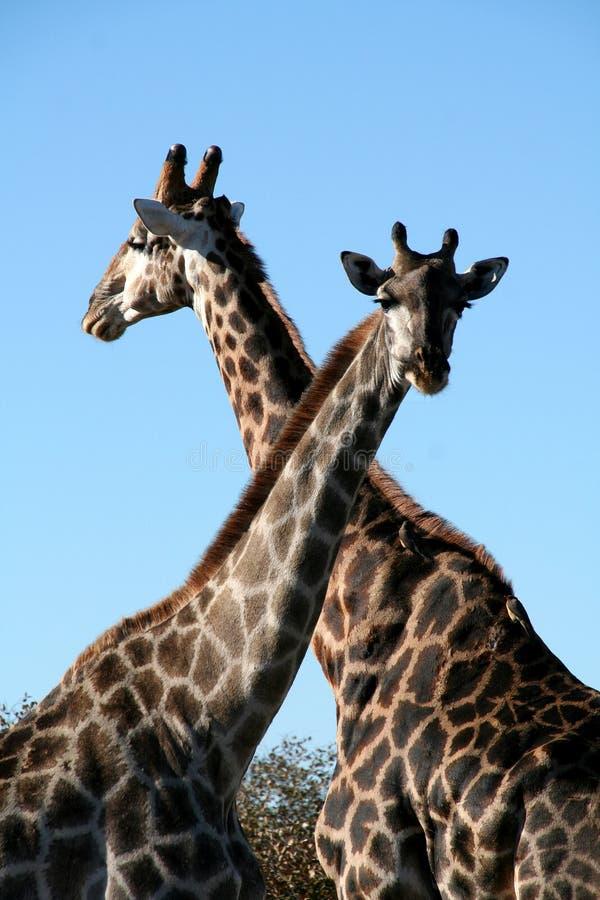 Giraffen die hun hals kruisen stock foto