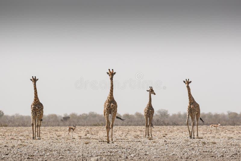 Giraffen in een zandstorm royalty-vrije stock afbeeldingen