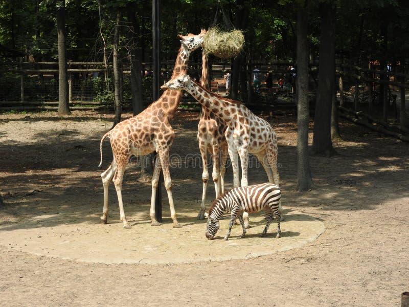 Giraffen en zebra stock foto