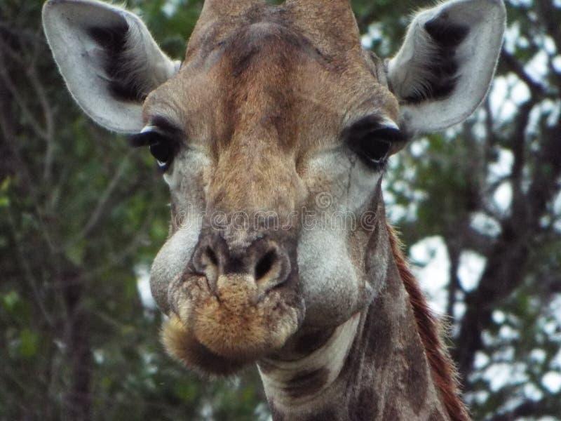 Giraffen-Essen lizenzfreie stockbilder