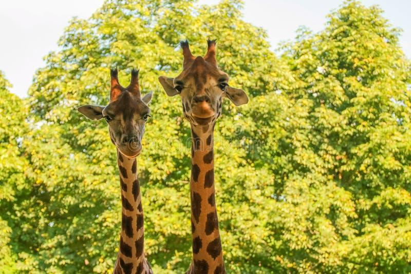 Giraffen (Giraffa camelopardalis) lizenzfreie stockbilder