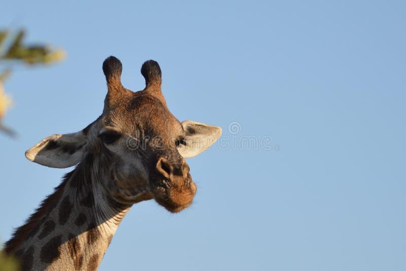 Giraffen (Giraffa camelopardalis) stockbild