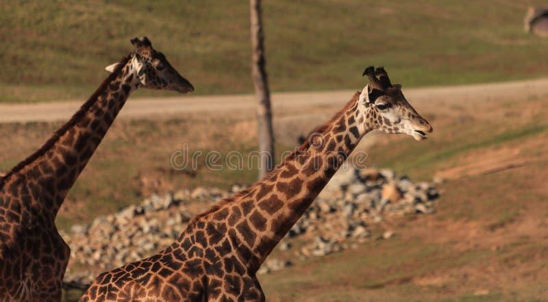 Giraffen, Giraffa camelopardalis stockbilder