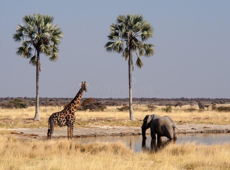 Giraffen, Giraffa-camelopardalis in het Nationale Park van Etosha, Namibië royalty-vrije stock afbeeldingen