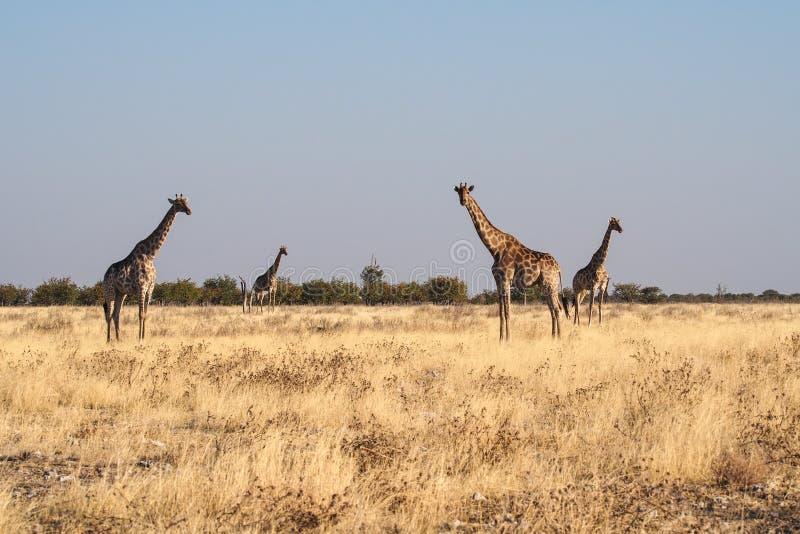 Giraffen, Giraffa-camelopardalis in het Nationale Park van Etosha, Namibi? stock foto