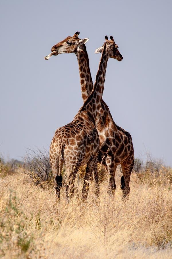 Giraffen, Giraffa-camelopardalis in het Nationale Park van Etosha, Namibi? stock foto's