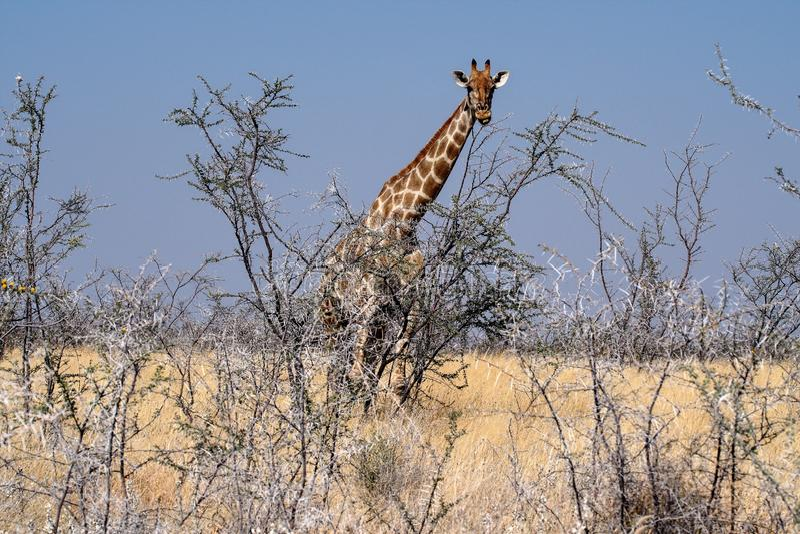 Giraffen, Giraffa-camelopardalis in het Nationale Park van Etosha, Namibi? royalty-vrije stock foto