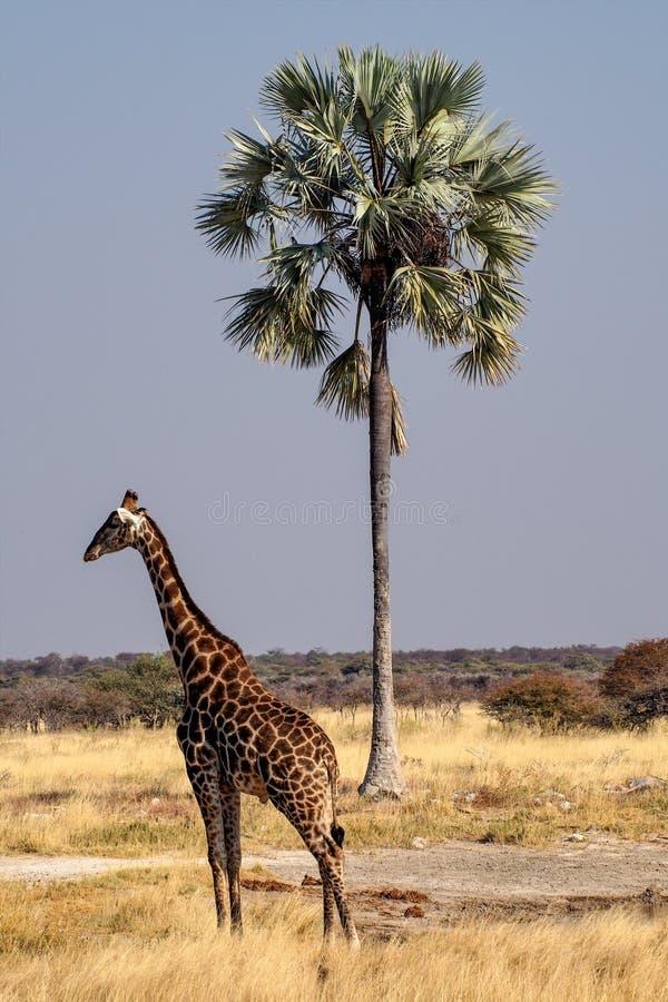 Giraffen, Giraffa-camelopardalis in het Nationale Park van Etosha, Namibi? stock afbeelding
