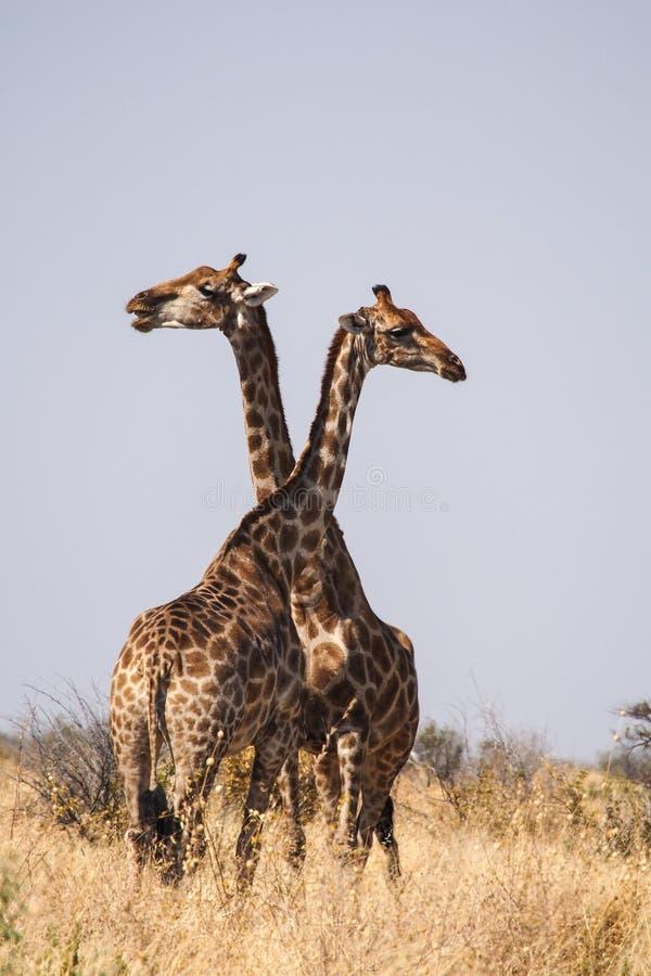 Giraffen, Giraffa-camelopardalis in het Nationale Park van Etosha, Namibi? royalty-vrije stock foto's