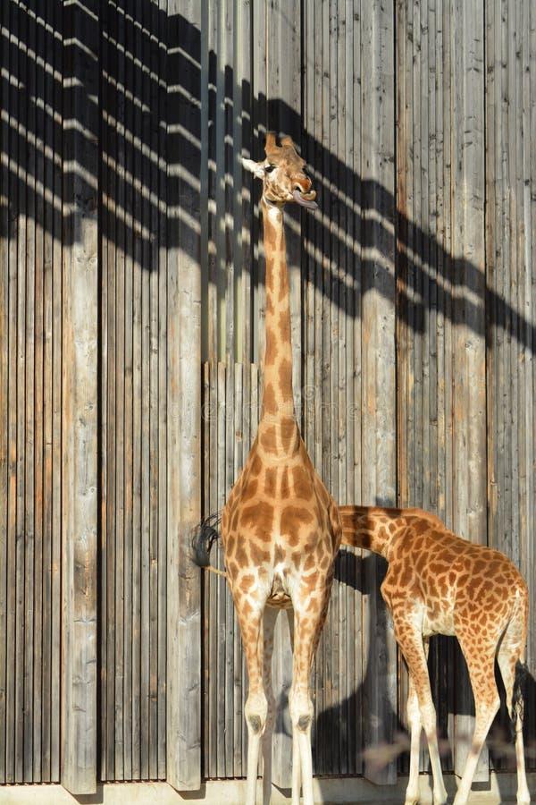 Giraffen het iliving en geniet van hun leven stock fotografie