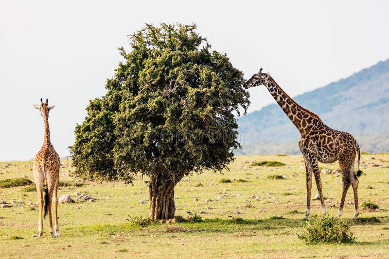 Giraffen im Safari-Park lizenzfreie stockfotos