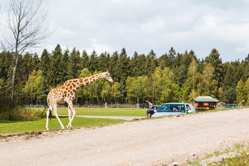 Giraffen im safaripark nannten Serengeti-Park in Hodenhagen in 201 stockfotos