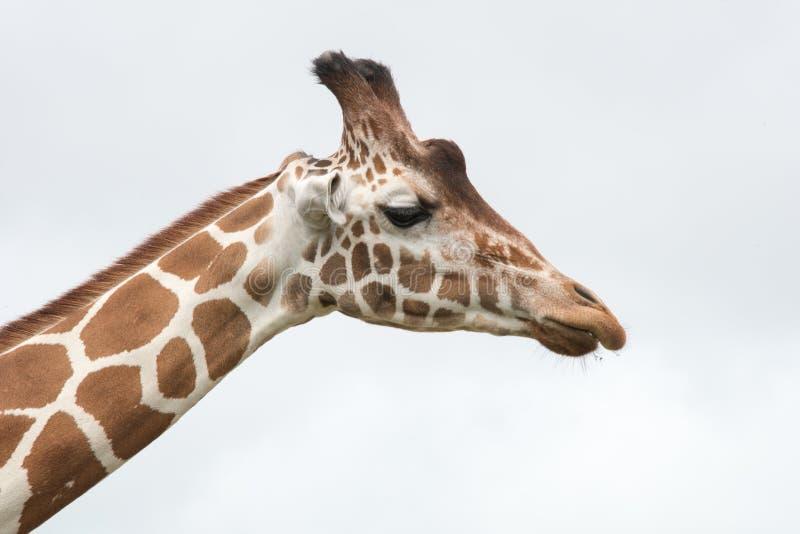 Giraffen-Kopf und Hals lizenzfreies stockfoto