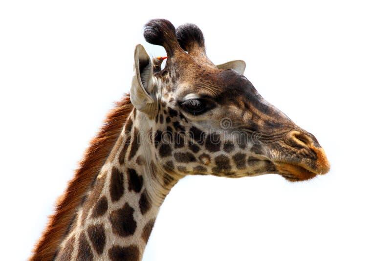 Giraffen-Kopf und Vogel-Freund - getrennt lizenzfreie stockbilder