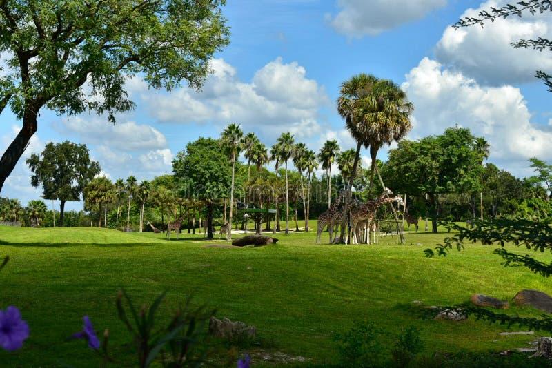 Giraffen in mooi savanne natuurlijk landschap bij Bush-het Themapark van Tuinentampa bay stock fotografie