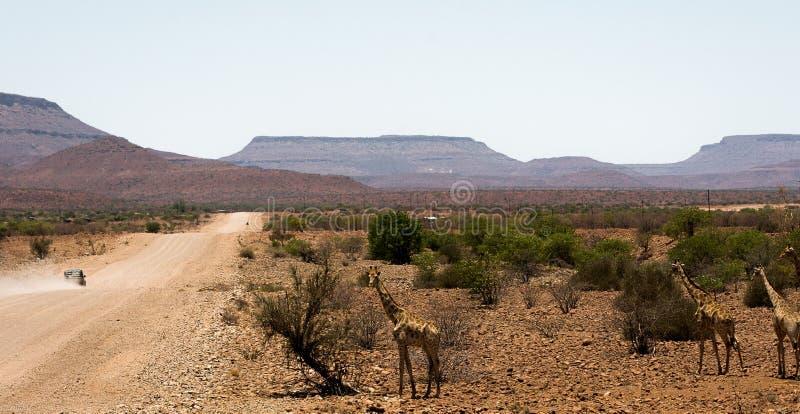 Giraffen naast een Namibian grintweg stock afbeeldingen