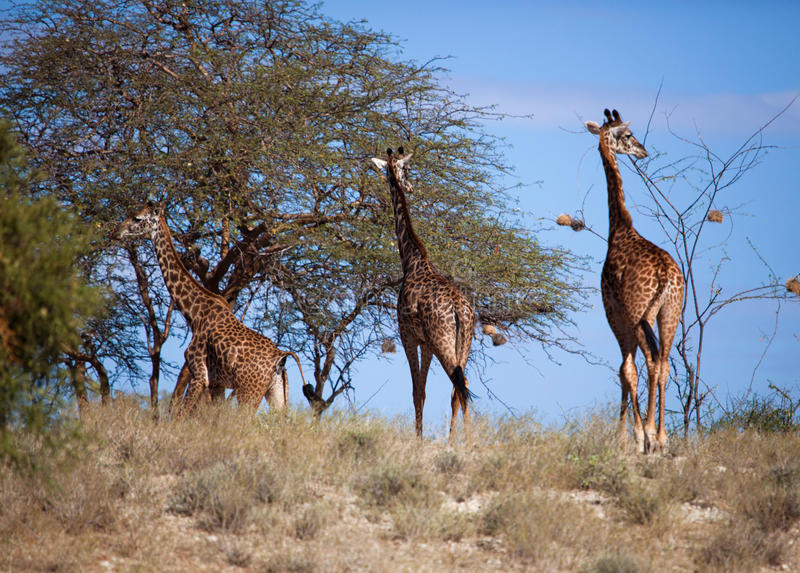 Giraffen op savanne. Safari in Amboseli, Kenia, Afrika royalty-vrije stock foto's