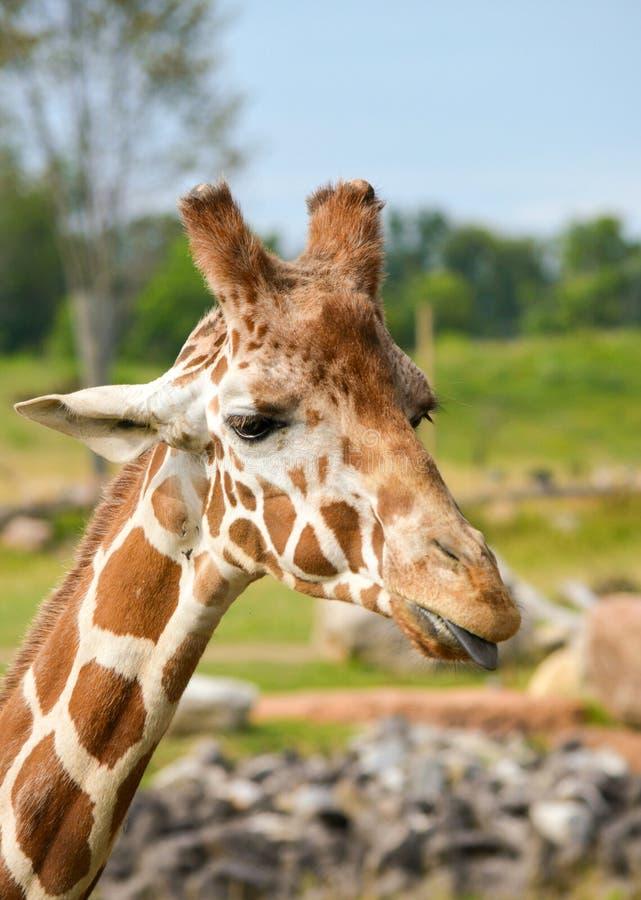 Giraffen-Porträt mit der Zunge heraus lizenzfreie stockfotografie