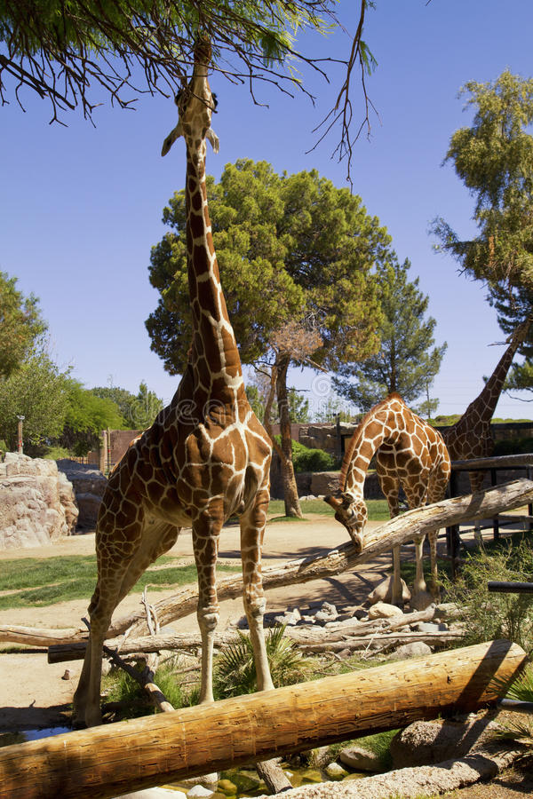 Giraffen in Reid Park Zoo, Tucson, Arizona stock foto's