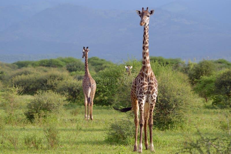 Giraffen in savana royalty-vrije stock fotografie