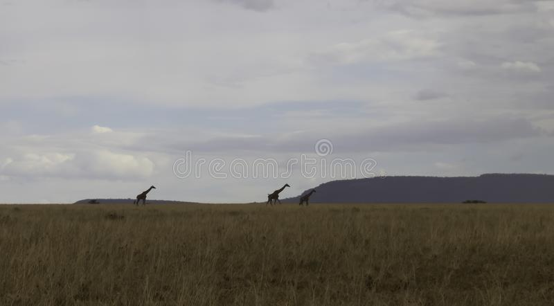 Giraffen in Serengeti stock afbeelding