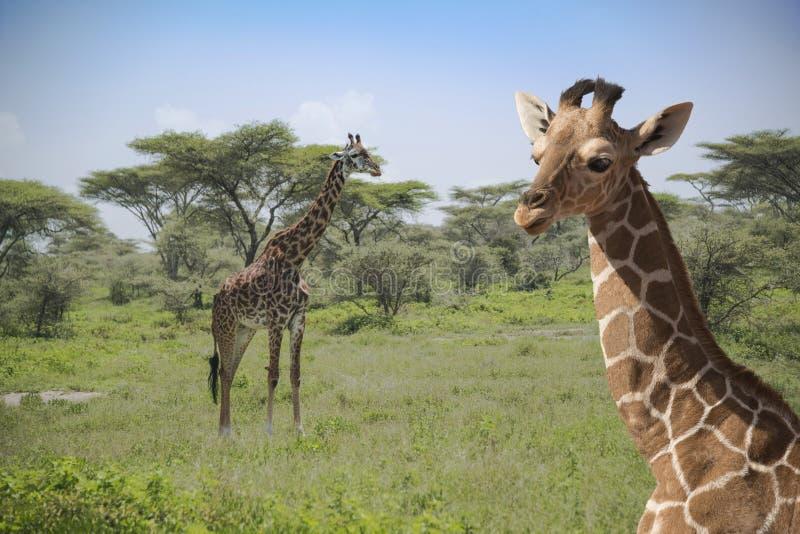 Giraffen in Serengeti-Ebenen von Afrika stockbilder