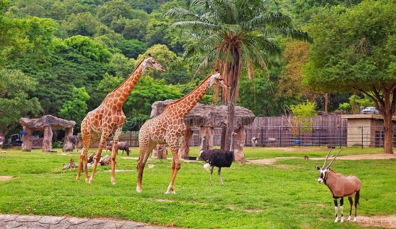 Giraffen, struisvogel en een Oryx bij een open dierentuin in Thailand royalty-vrije stock afbeelding