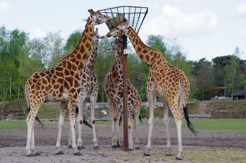 Giraffenessen stockfoto