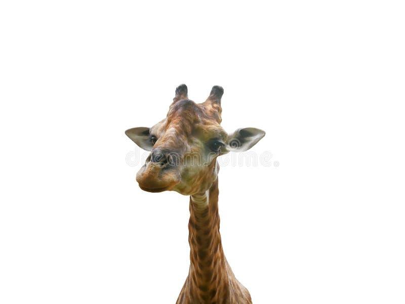 Giraffenkopf lokalisiert auf weißem Hintergrund stockfoto