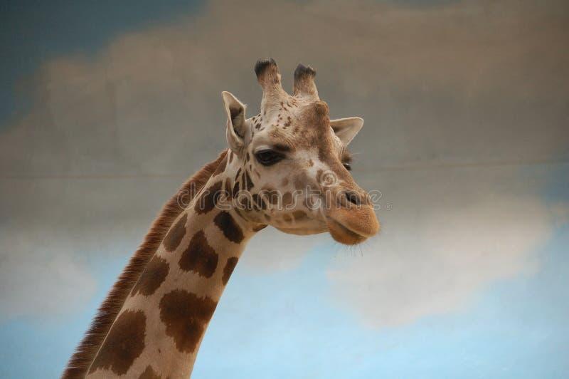 Giraffenporträt im Zoo stockbilder
