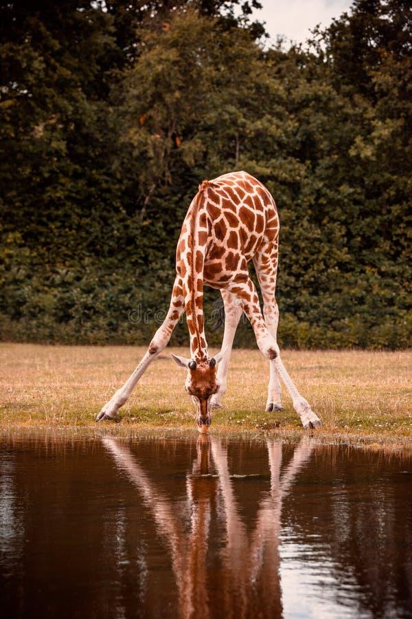 Giraffentrinken lizenzfreie stockfotografie