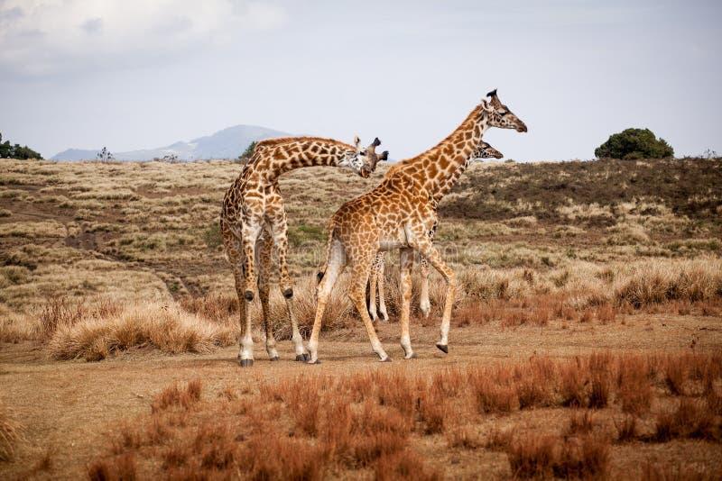 Giraffes οικογένεια Camelopardalis στοκ φωτογραφία με δικαίωμα ελεύθερης χρήσης