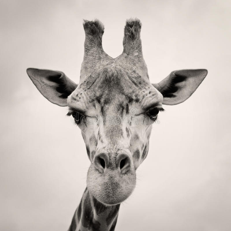 giraffes επικεφαλής τονισμένο&sigmaf στοκ φωτογραφίες με δικαίωμα ελεύθερης χρήσης
