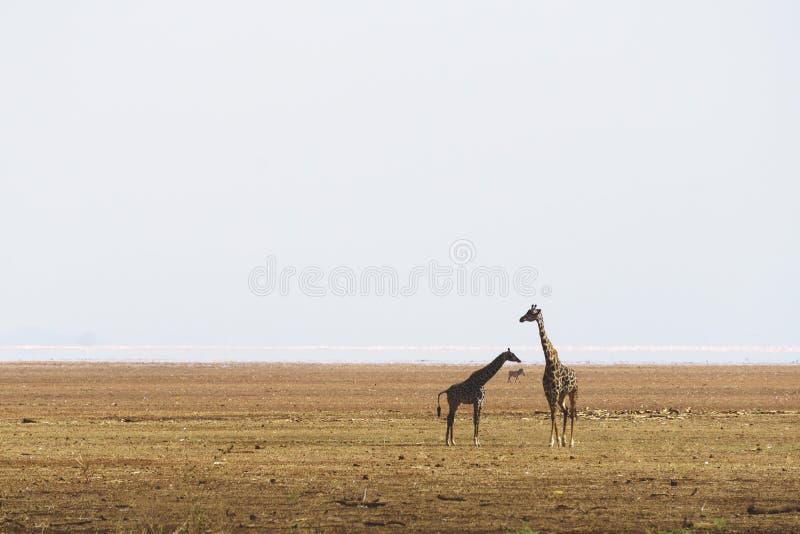 Giraffes στη λίμνη Manyara στοκ φωτογραφία με δικαίωμα ελεύθερης χρήσης