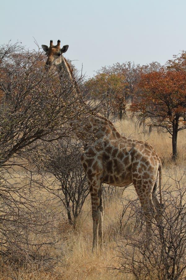Download Giraffes στη σαβάνα της Ναμίμπια Στοκ Εικόνα - εικόνα από αφρική, θηλαστικό: 62700047