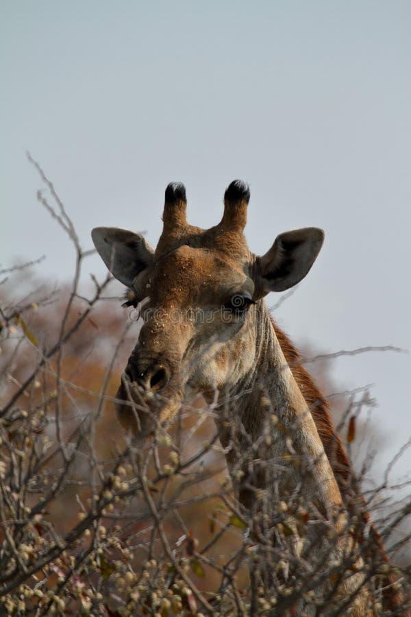 Download Giraffes στη σαβάνα της Ναμίμπια Στοκ Εικόνα - εικόνα από σαβάνα, giraffes: 62700189