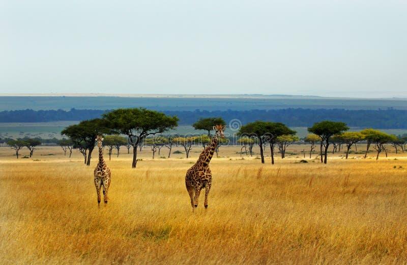 Giraffes στις απέραντες πεδιάδες του Masai Mara στοκ φωτογραφία με δικαίωμα ελεύθερης χρήσης