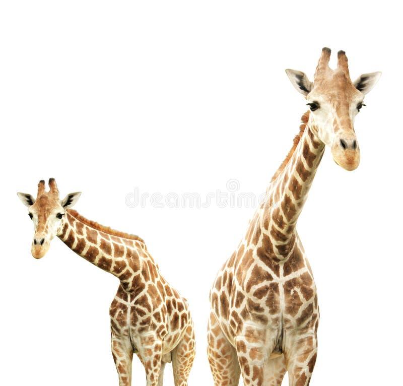 giraffes δύο στοκ εικόνα με δικαίωμα ελεύθερης χρήσης