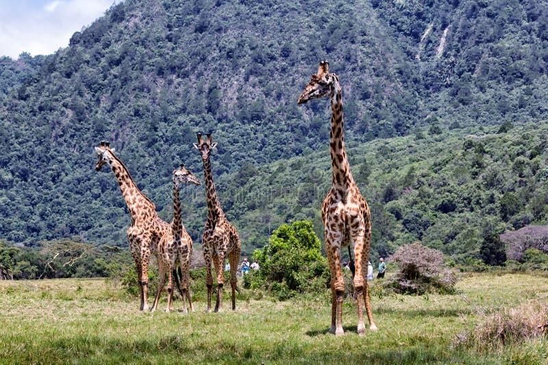 giraffes Африки стоковое изображение rf