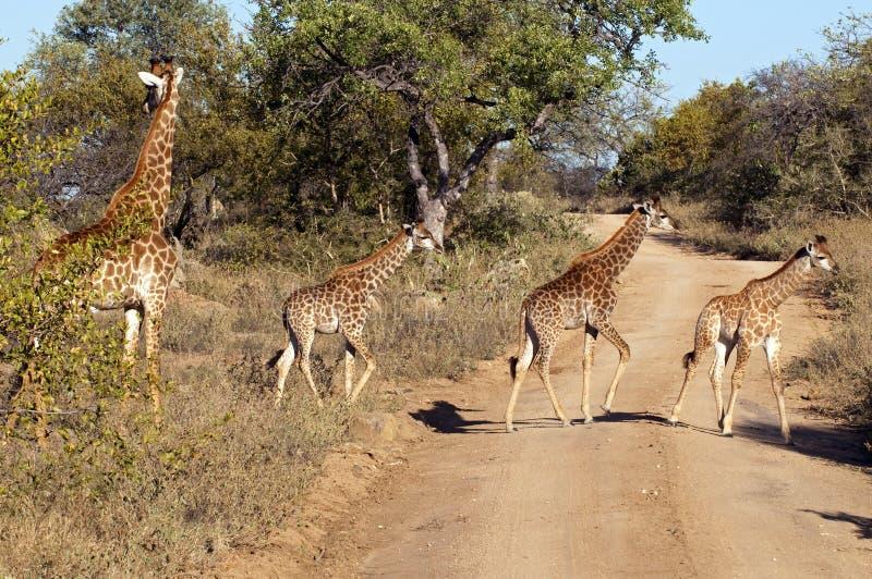 giraffes photo libre de droits
