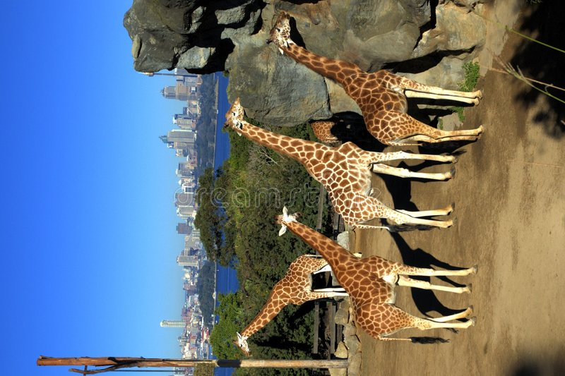Download Giraffes stock image. Image of giraffe, sydney, wildlife - 154335