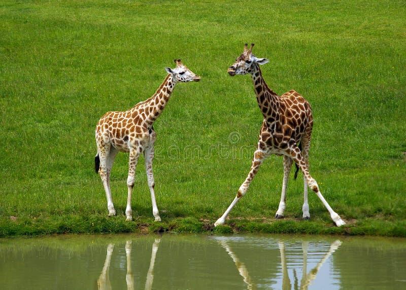 Giraffes imagem de stock royalty free