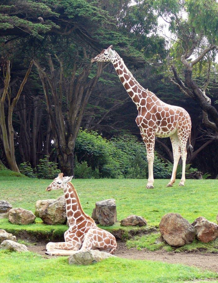 giraffes photo stock