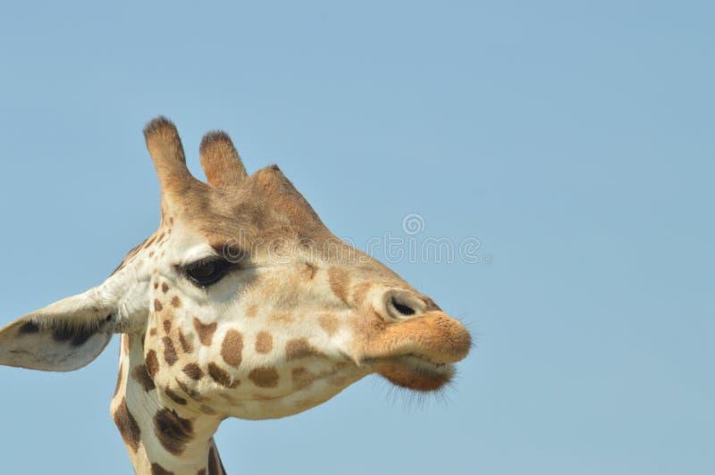 giraffes imagens de stock