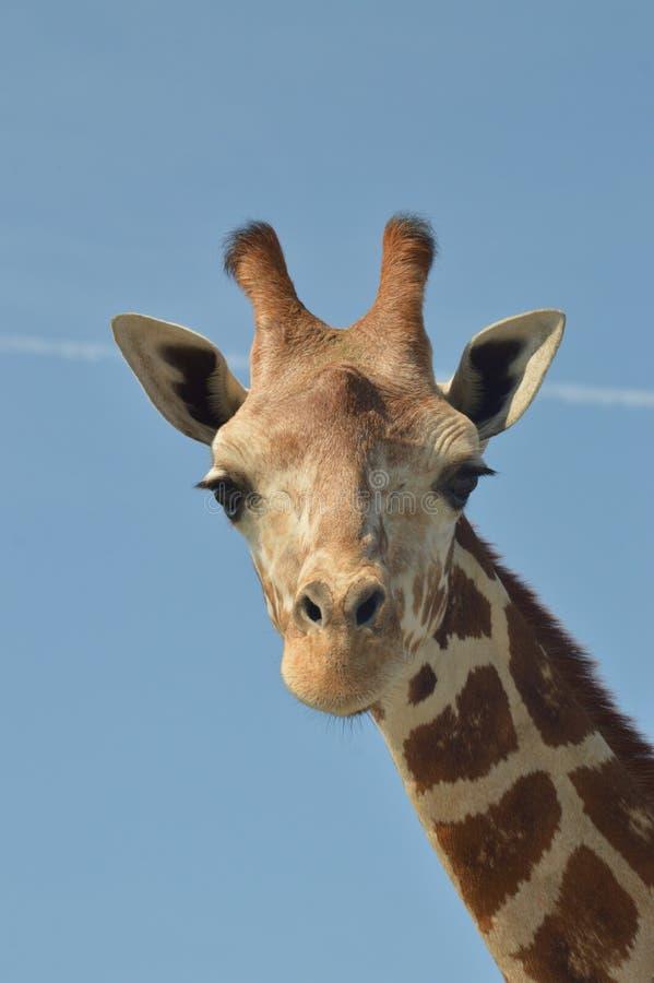 giraffes fotos de stock