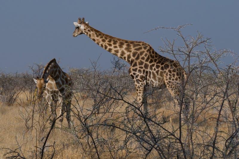 Download Giraffes In African Savanna Stock Image - Image: 23289587